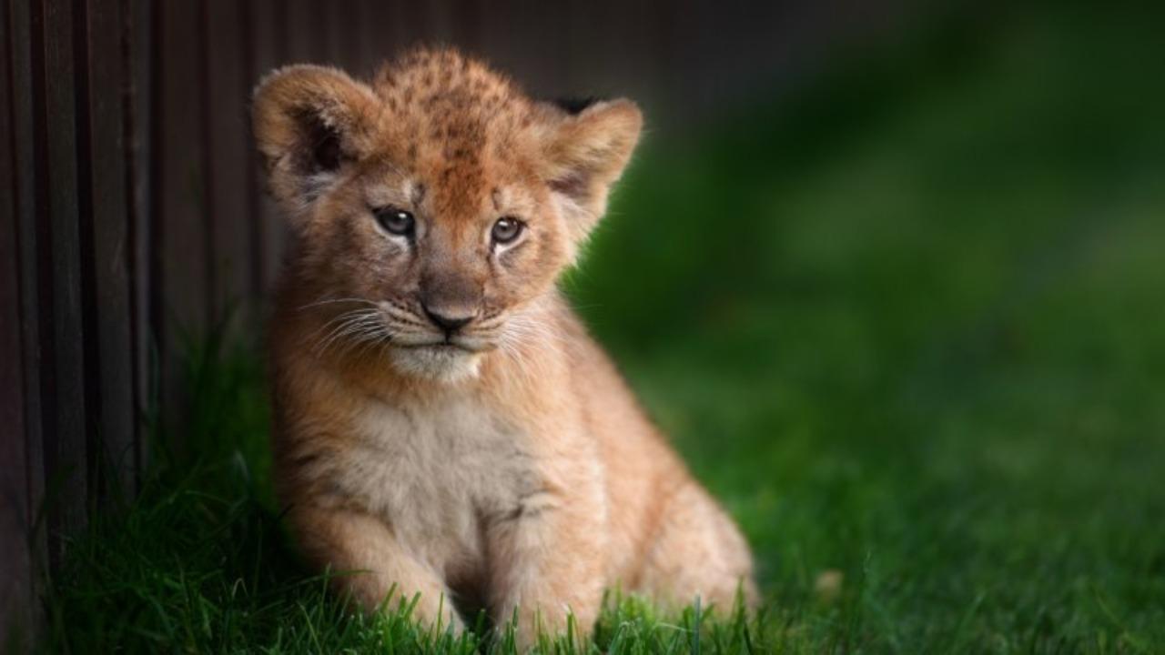 En pleine promenade, elle tombe sur un lionceau !