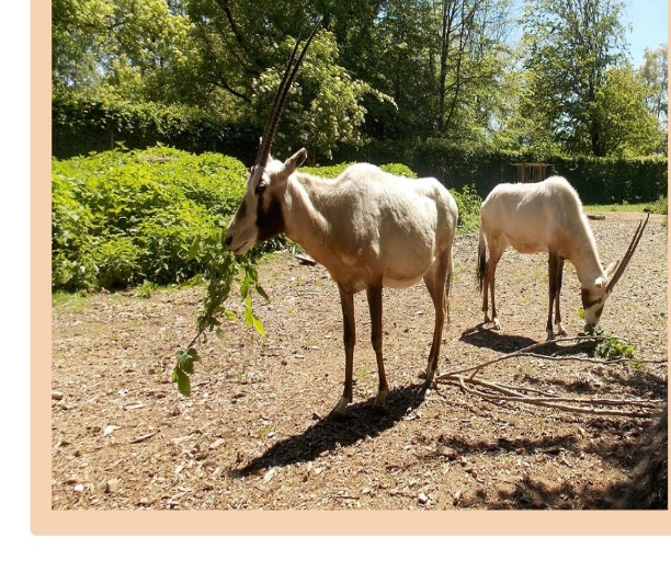 Une espèce mythique s'invite au Touroparc Zoo