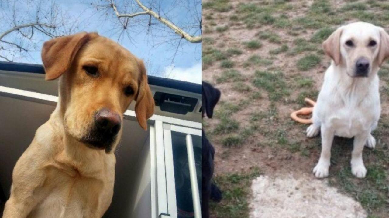 Natcho et Lully, deux chiens d'aveugle, ont été volés à une association