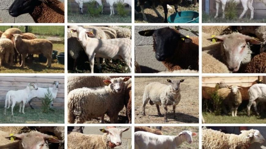 Rhône : sauvés par la SPA de Lyon, 16 moutons adoptés !