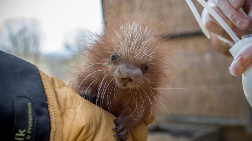 Un bébé coendou naît au sein du Parc Animalier d'Auvergne  ! (photos)