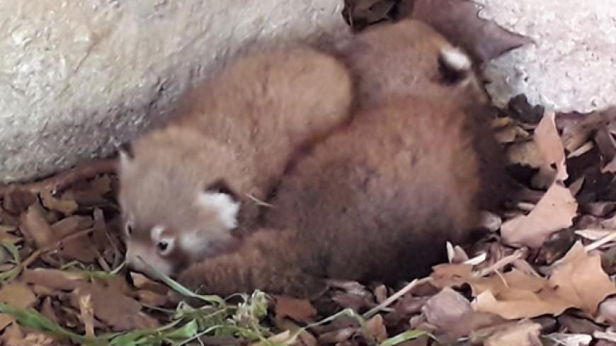 Parc de la Tête d'Or : les lyonnais invités à donner les noms des deux bébés pandas