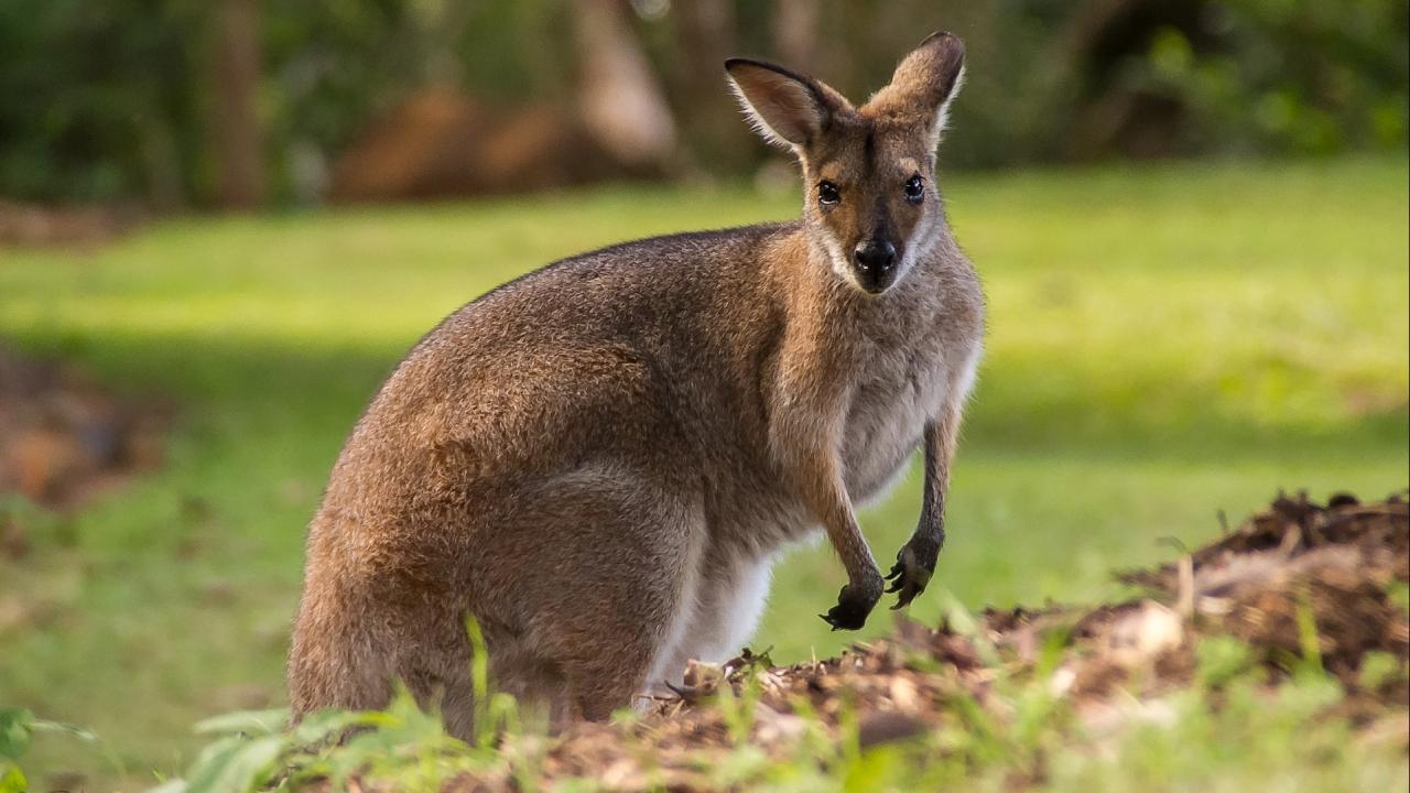 Un wallaby, échappé d'un parc zoologique, se balade entre Loire et Rhône