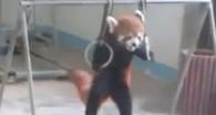 Ce gymnaste en herbe n'est autre qu'un.. Panda roux